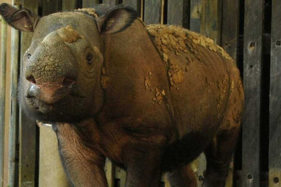 Schock für Tierschützer: Letztes Sumatra-Nashorn an Krebs gestorben
