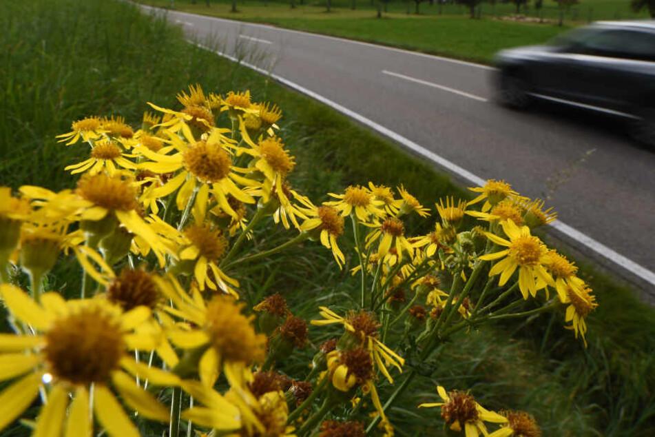 Das gifte Jakobskreuzkraut oft direkt am Wegesrand und verbreitet sich rasant in Bayern.