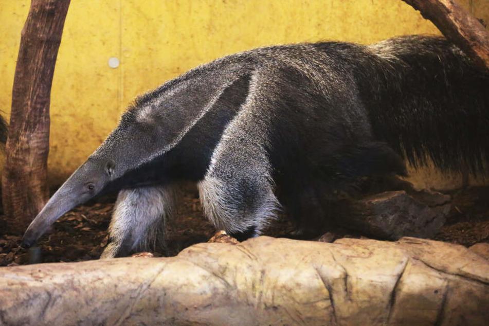 Ein Ameisenbär im Jahr 2016 im Kölner Zoo.