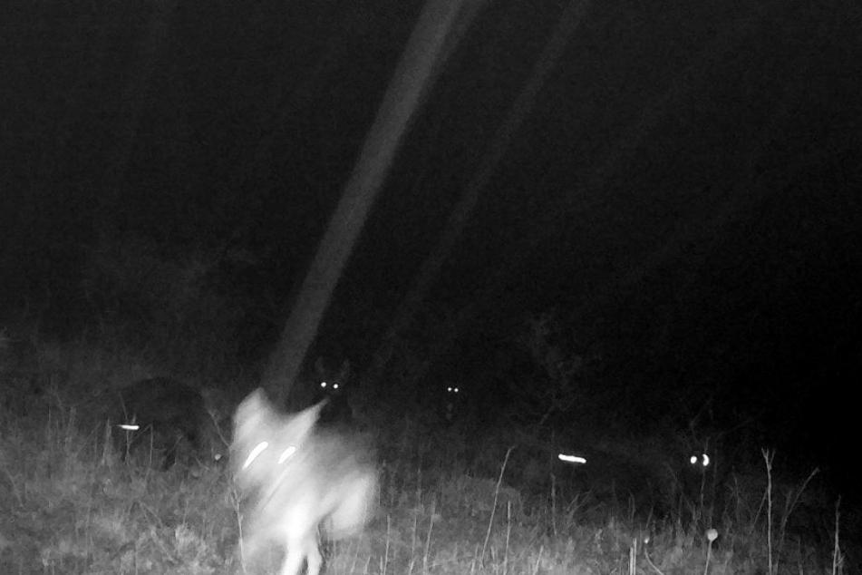 Das einzige Bild der Wölfe: Das Muttertier mit ihren sechs Jungen.