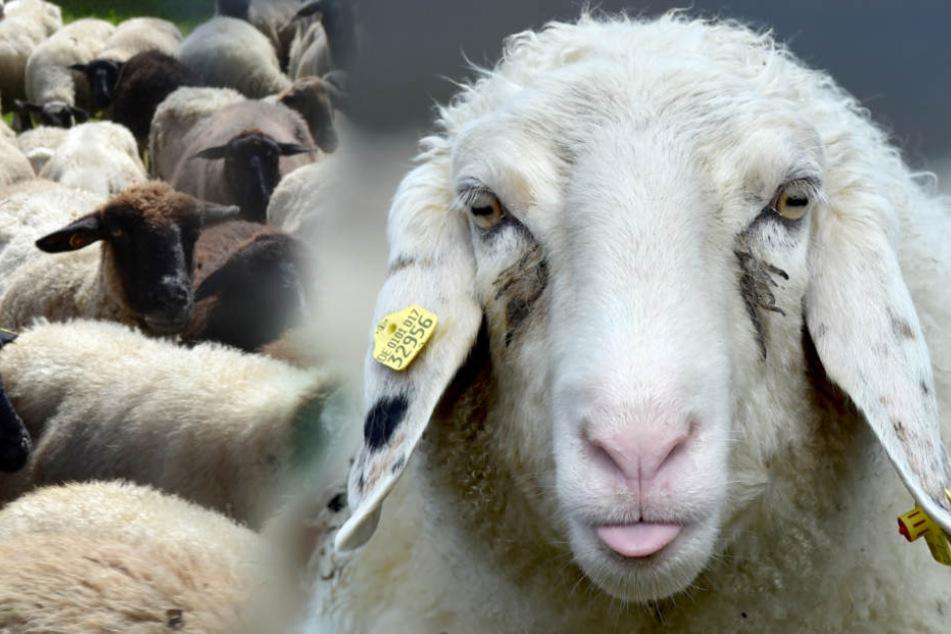 Tierquälerei: Schafhalter lässt Tiere fast verhungern und verdursten!