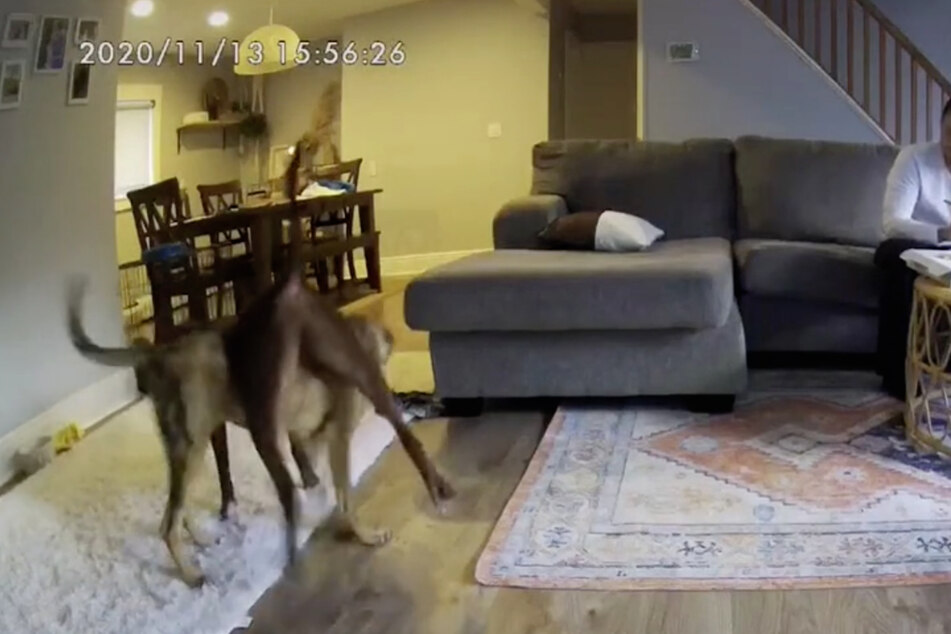 These two dogs knew exactly what they were doing!