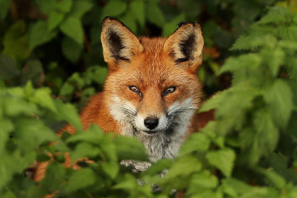 Der Fuchs darf aktuell nicht vom 1. März bis 14. August bejagt werden (Symbolfoto).
