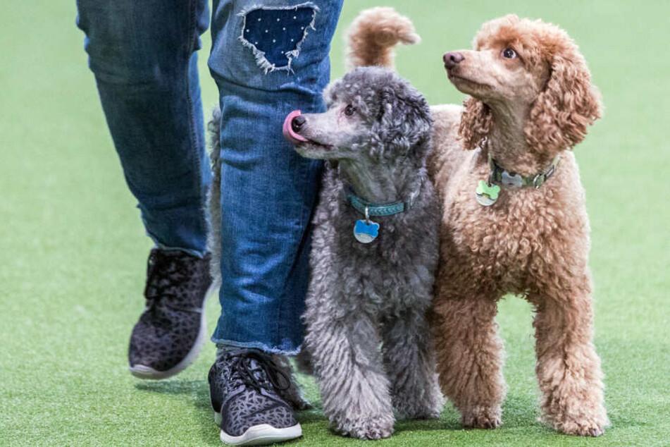 Irre! Frauchen gehen mit ihren Hunden zum Tanzunterricht