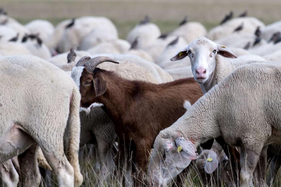 Schaf auf Weide getötet, zerstückelt und Körperteile mitgenommen