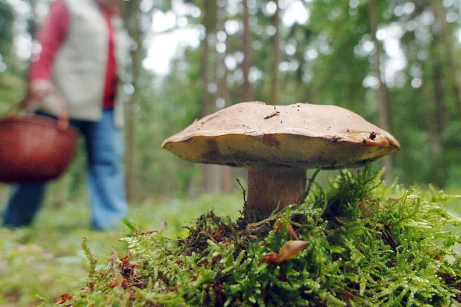 Pilze im Bayerischen Wald sind noch immer radioaktiv belastet.