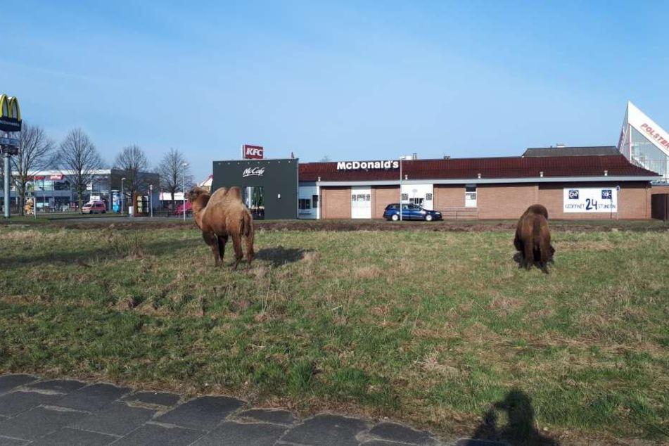 Tierischer Ausflug! Zwei Kamele auf dem Weg zu McDonald's