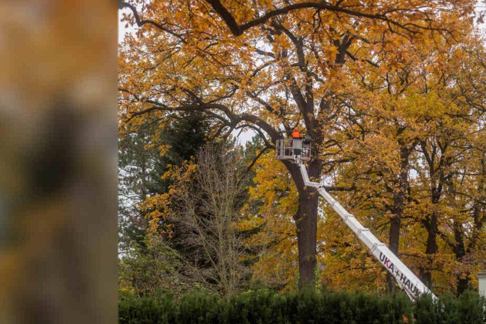 Großer Wirbel um alte Eiche in Chemnitz: Besitzer fällt Naturdenkmal