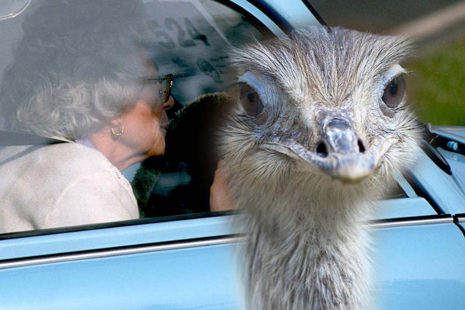 Statt Wildschwein oder Reh lief der Autofahrerin (92) ein Nandu vors Auto. (Symbolfoto)