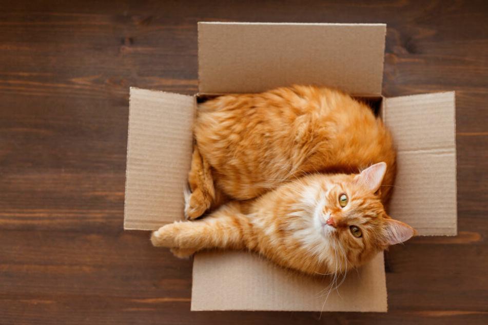 Katzen fühlen sich in Kartons sicher.