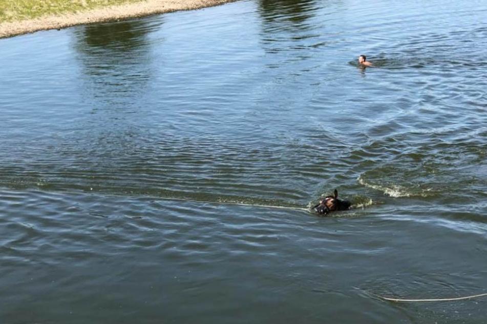 Pferd in Not! Die FFW Bad Düben rettete das Tier vor dem Ertrinken.