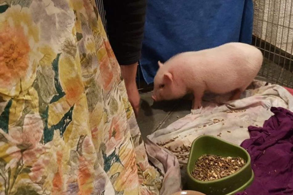 """Krankes Minischwein gefunden! Wurde """"Bifi"""" einfach in der Kälte ausgesetzt?"""