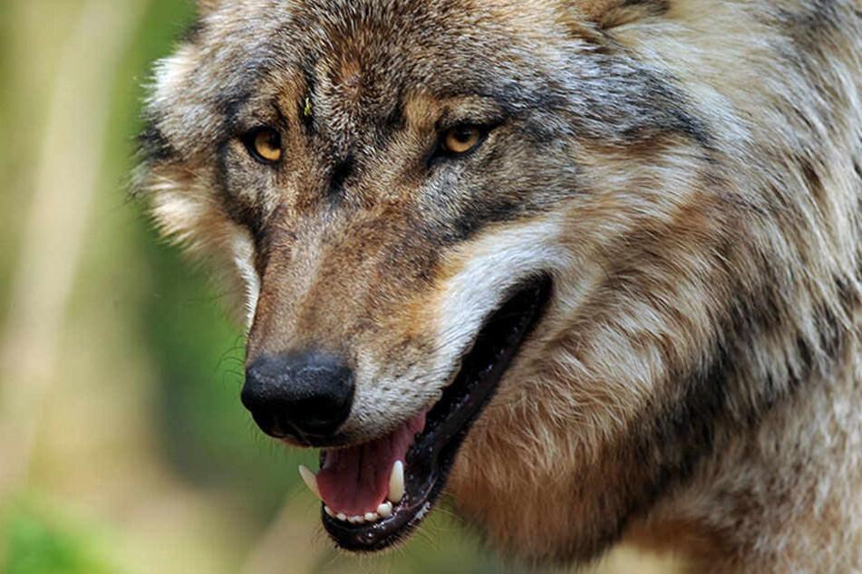 Es wurde in den letzte Tag etwas ruhiger um vermeintliche Wolfsangriffe. Ist mit der Ruhe vorbei? (Symbolbild)