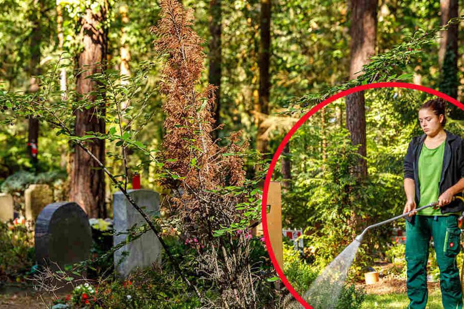 Dürresommer: Dem Dresdner Heidefriedhof droht der Trockentod