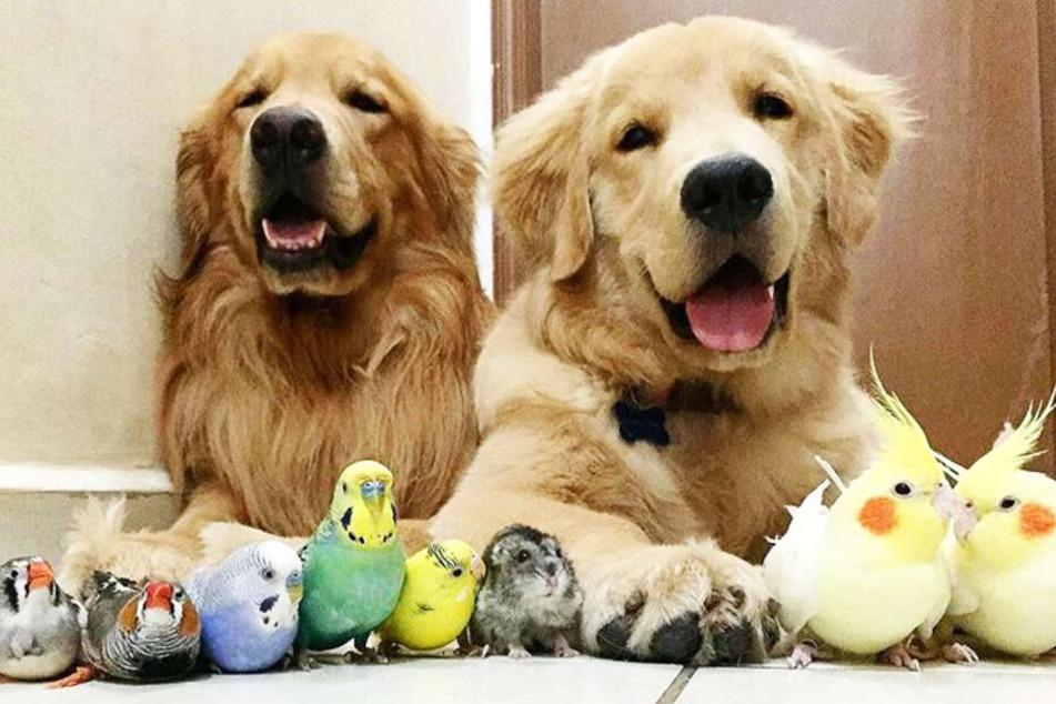Die Golden Retriever sind dick befreundet mit Vögeln, Hamster und Meerschweinchen.