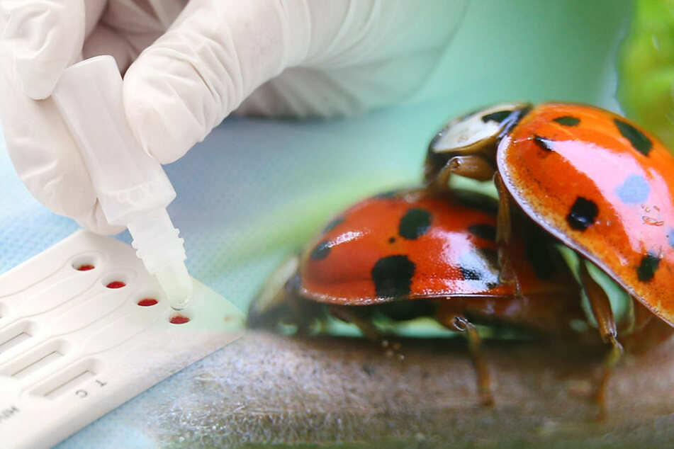Massenhaft Marienkäfer mit Geschlechts-Krankheiten: Wie gefährlich sind sie für Menschen?