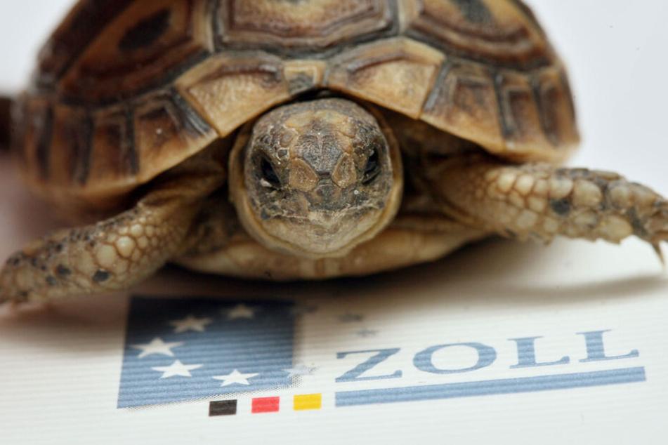 Die Landschildkröte wurde in einer engen Kiste nach Deutschland geschmuggelt und bei einer Pressekonferenz des Zolls am Flughafen präsentiert.