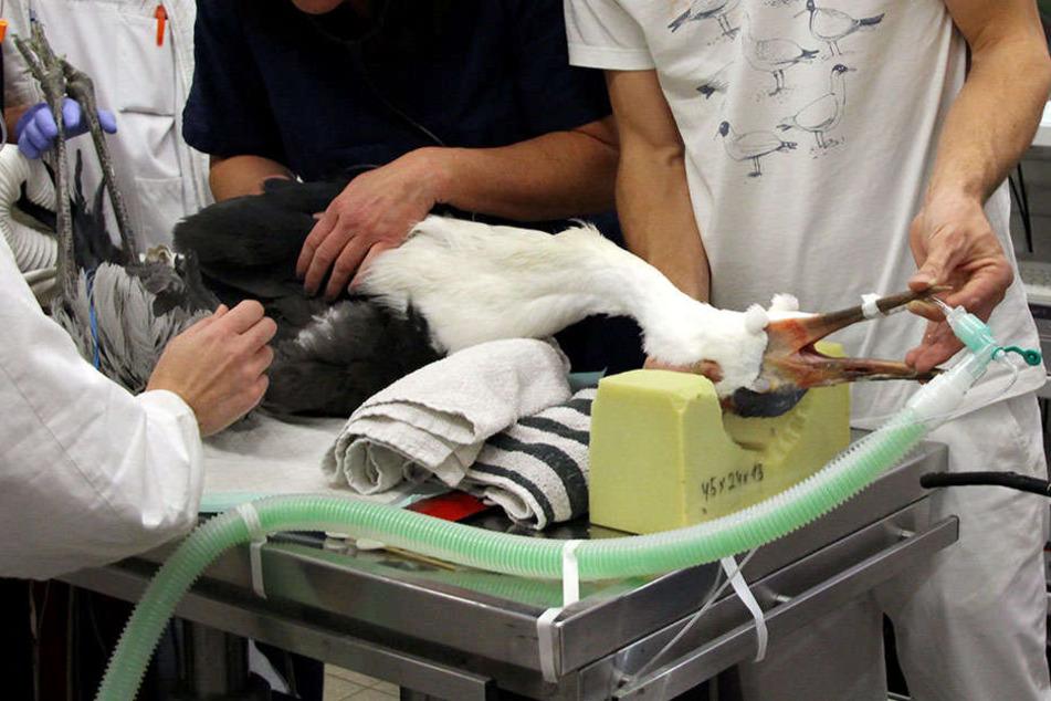 """Der südafrikanische Klunkerkranich mit dem Namen """"Heintje"""" liegt auf einem Operationstisch in der Kleintierklinik der Ludwig-Maximilians-Universität München."""