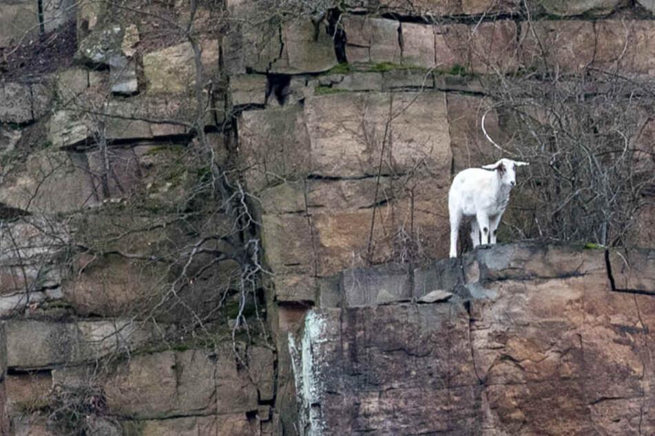 Heldenhafte Dachdecker retten Ziege von einer Klippe