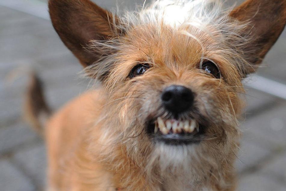 Der Mischling ging brutal auf den anderen Hund los, verletzte auch den herbeigerufenen Polizisten. (Symbolbild)