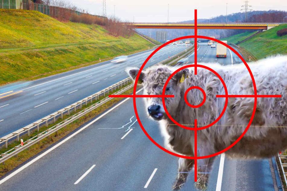 Die A2 musste wegen des Jungbullen komplett gesperrt werden.