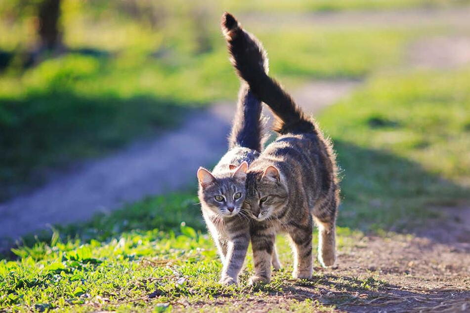 Der süße Katzennachwuchs wird zwischen Januar und März gezeugt.