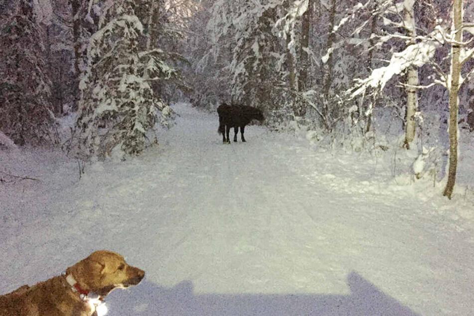 Auf Wanderschaft: Kuh Betsy ist seit sieben Monaten ausgebüxt.