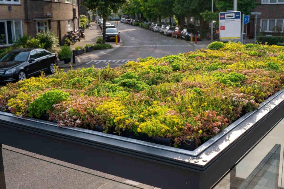 Vorbild Niederlande: So wie hier in Utrecht könnten die Chemnitzer Haltestellendächer begrünt werden. Foto: imago images/Hollandse Hoogte