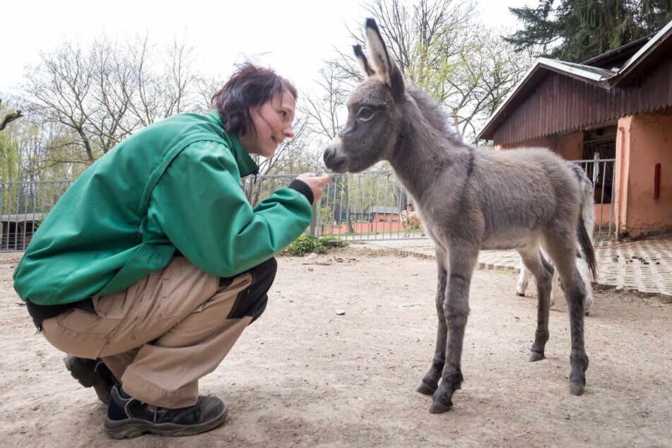 Hallo, Kleiner! Tierpflegerin Kathrin Reupert (31) begrüßt das fünf Tage alte Eselsfohlen.