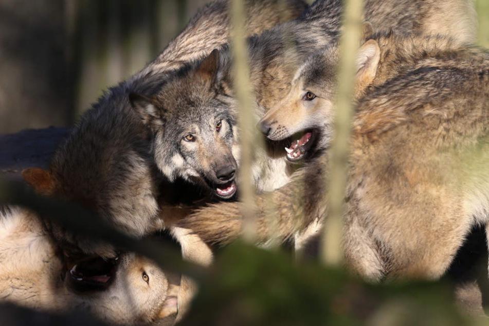 So ähnlich könnten sich die Wolf-Hund-Mischlinge aus Ohrdruf mittlerweile auch tummeln. Laut Umweltministerium sollen sie nun gerettet werden.