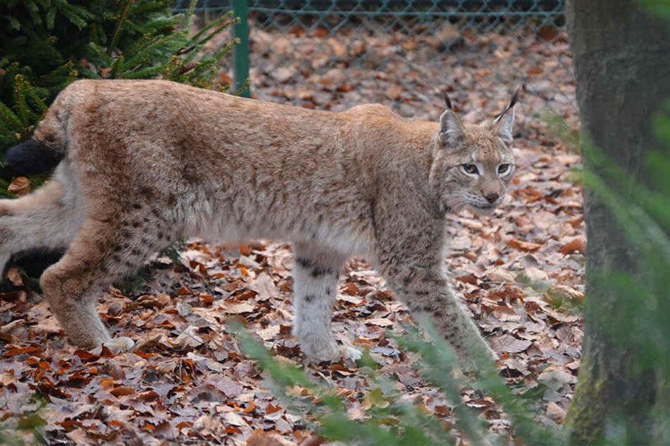 Die Luchsdame Dorothea ist seit Donnerstag neu im Herforder Tierpark.