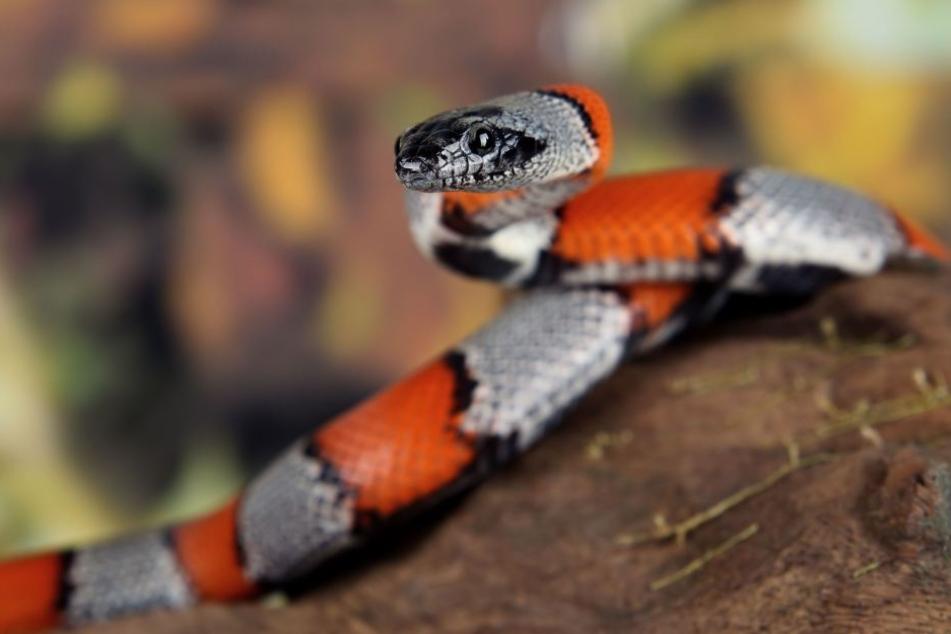 So in etwa muss die Schlange ausgesehen haben. (Symbolbild)