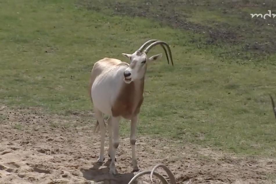 Säbelantilope Camilla sorgte beim Boss der Afrika-Savanne für Ratlosigkeit.