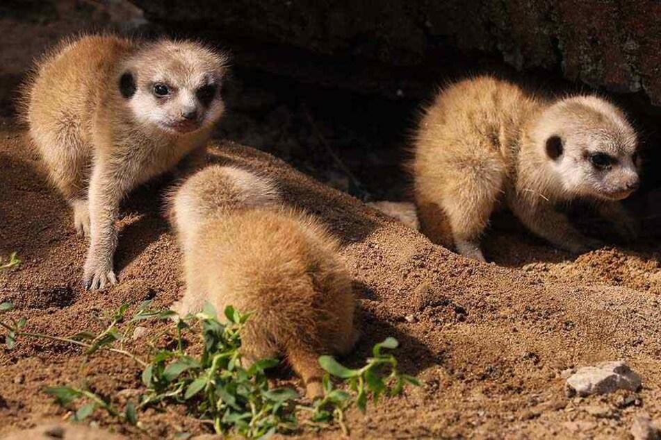 Wie niedlich! Dresdner Zoo freut sich über Nachwuchs bei den Erdmännchen