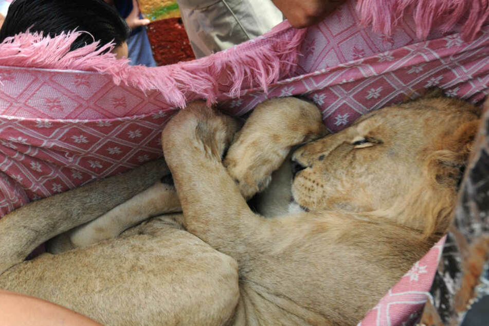 Der junge Löwe konnte befreit werden.