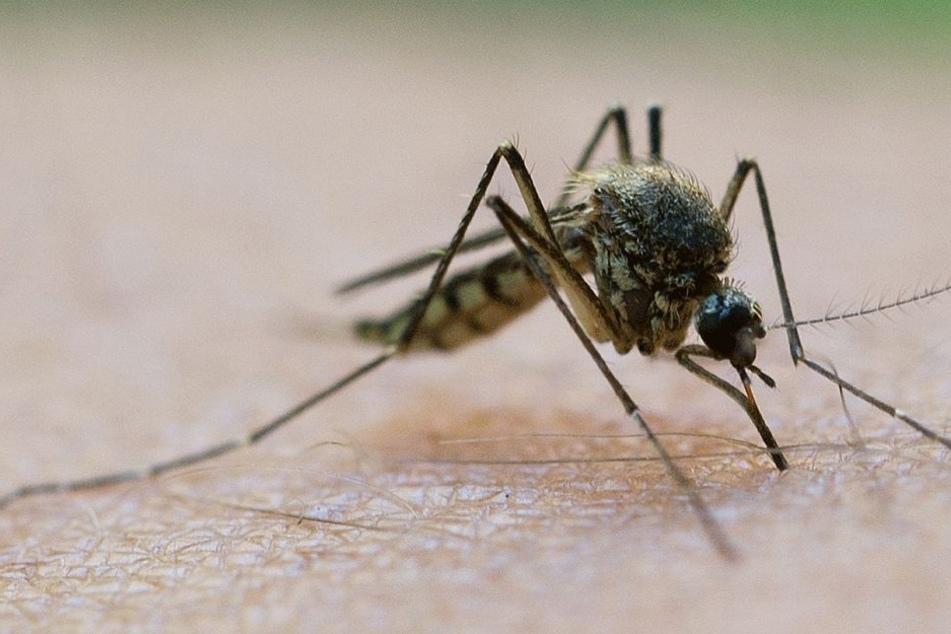 Eine ganz normale Mücke aus Deutschland soll für den schrecklichen Fall verantwortlich sein.