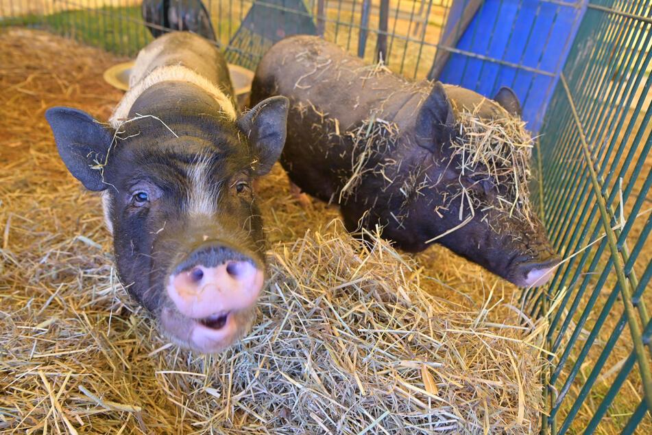 Auch die Hängebauchschweine üben sich im Home-Office, denn Auftritte im Zirkus sind verboten.