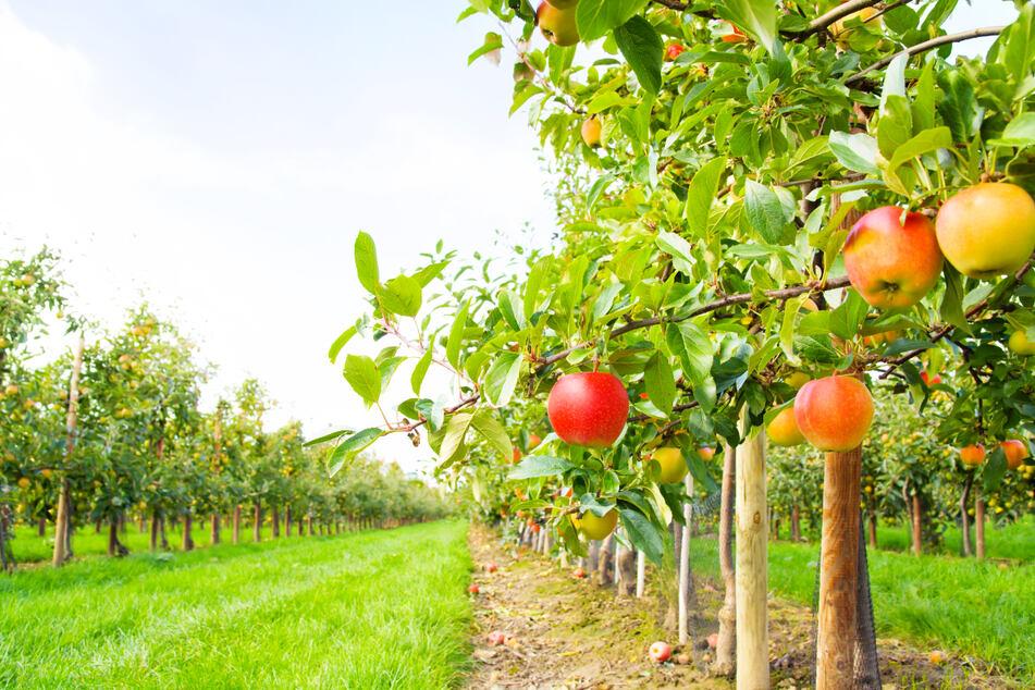 Chemnitz: Damit Chemnitz gesund, frisch und knackig bleibt: Stadt will 4000 Apfelbäume pflanzen