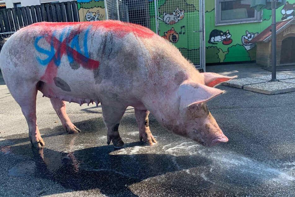 Vor dem Hinspiel wurde ein völlig erschöpftes Schwein in Mannheim aufgefunden, auf dem Hassparolen der Kaiserslautern-Fans gegen Waldhof-Anhänger geschmiert waren.