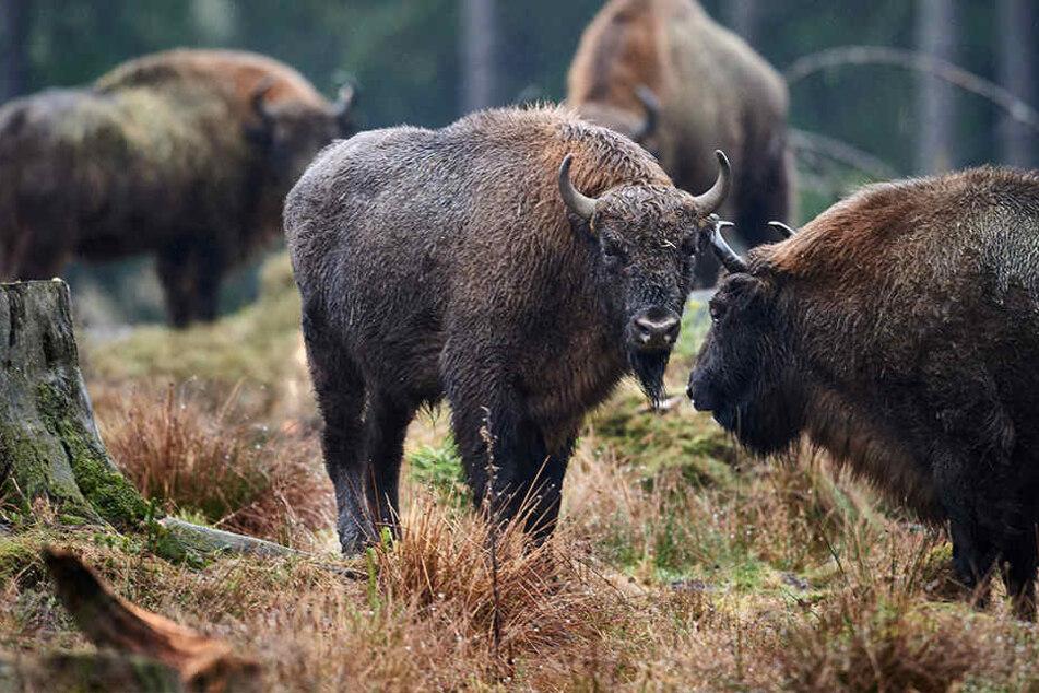 Weil eine Wisent-Herde die Rinden von Buchen abgeschält haben sollte, wurde für sie ein Waldverbot ausgesprochen.