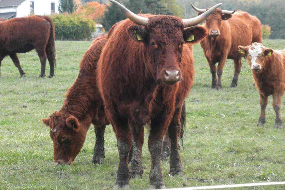 Von dieser Weide waren die Rinder ausgebrochen.