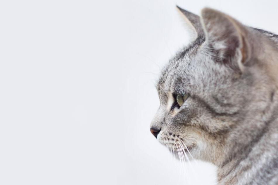 Das sind die 10 seltensten Katzenrassen der Welt