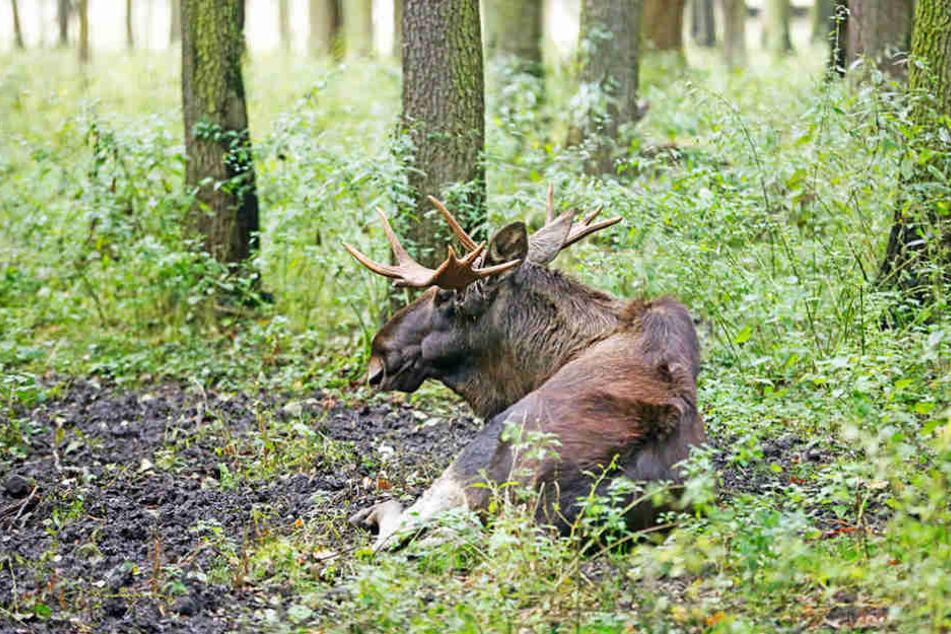 Hoffentlich kommt er wieder auf seine langen Beine: der Elchbulle von Moritzburg.