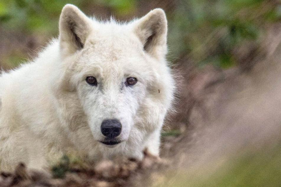 """Polarwolf """"Scott"""" musste im Alter von 15 Jahren eingeschläfert werden."""