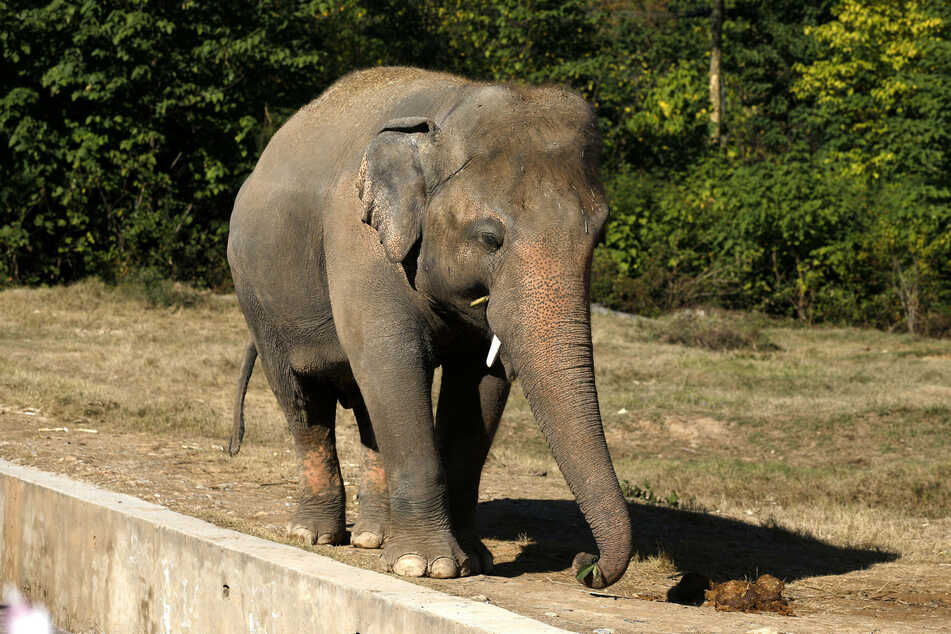 Asian elephant Kaavan at the Marghazar Zoo in Islamabad, Pakistan, before he was rescued.