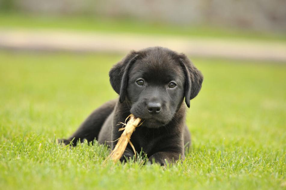 Die Hunde, die umgebracht wurden, waren Labradore. (Symbolbild)