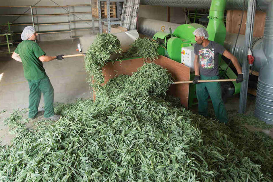 Auf den Bombastus-Feldern in Freital hat die Salbei-Ernte begonnen. Hier pflückt ein Spezialtrecker die Blätter von den Pflanzen.