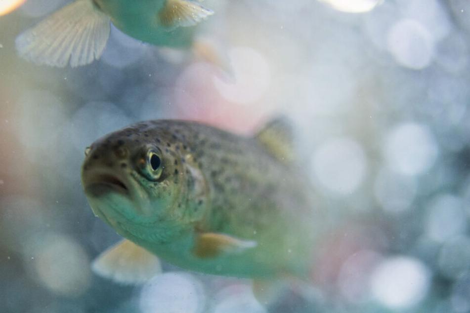 Bereits in der Vergangenheit wurde sich illegal an der Fischzucht bedient. (Symbolbild)