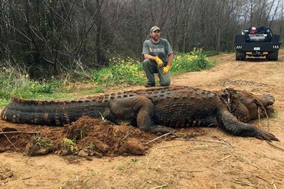 Diesen gigantischen Alligator holten die Naturschützer aus dem Graben.