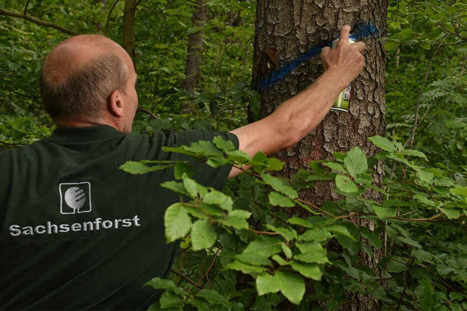 Der Forst-Chef markiert einen vom Borkenkäfer befallenen Baum, der abgeholzt werden muss.